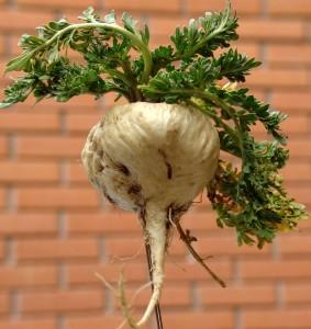 Maca is a cruciferous vegetable that lower estrogen levels