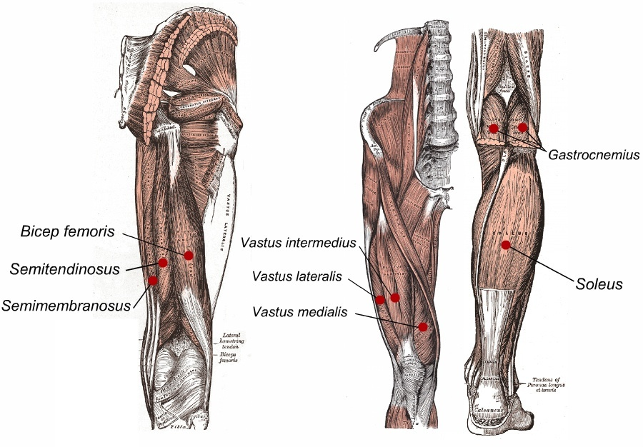 the muscle anatomy of legs