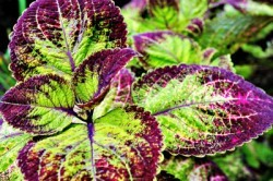 forskolin is a potent testosterone boosting herb