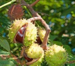 Redwood contains the ingredient horse chestnut extract