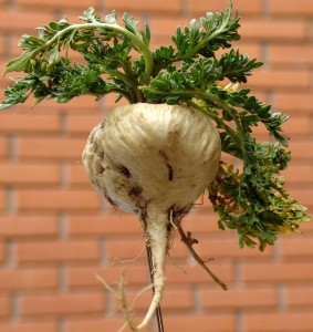 Maca is a cruciferous vegetable that lower estrogen levels