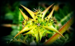 tribulus terrestris and testosterone, does tribulus work