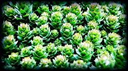 rhodiola rosea lowers cortisol increases testosterone