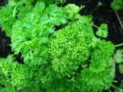 Inhibit aromatase by eating parsley