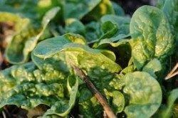 Leafy green vegetables are anti estrogenic