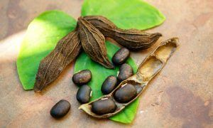 mucuna pruriens and testosterone a source of l dopa