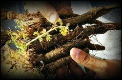 Arkarkara root as a herbal testosterone booster