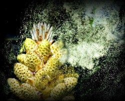Pine pollen is an herbal superfood