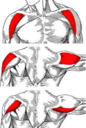 Understanding the different shoulder muscles are important to know in order to build big shoulders.