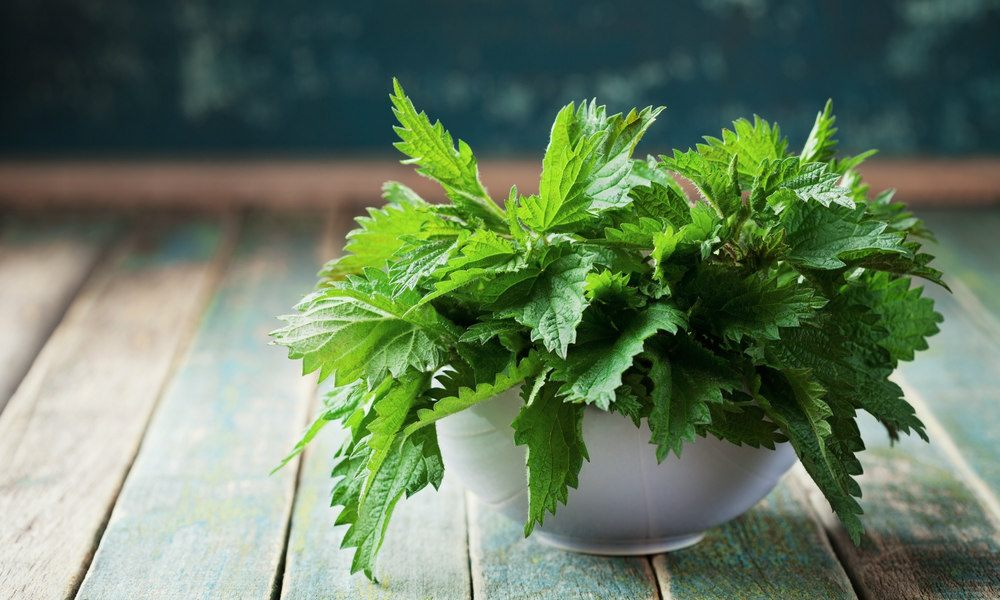stinging nettle root and testosterone levels