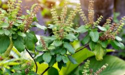 tulsi and male testosterone levels